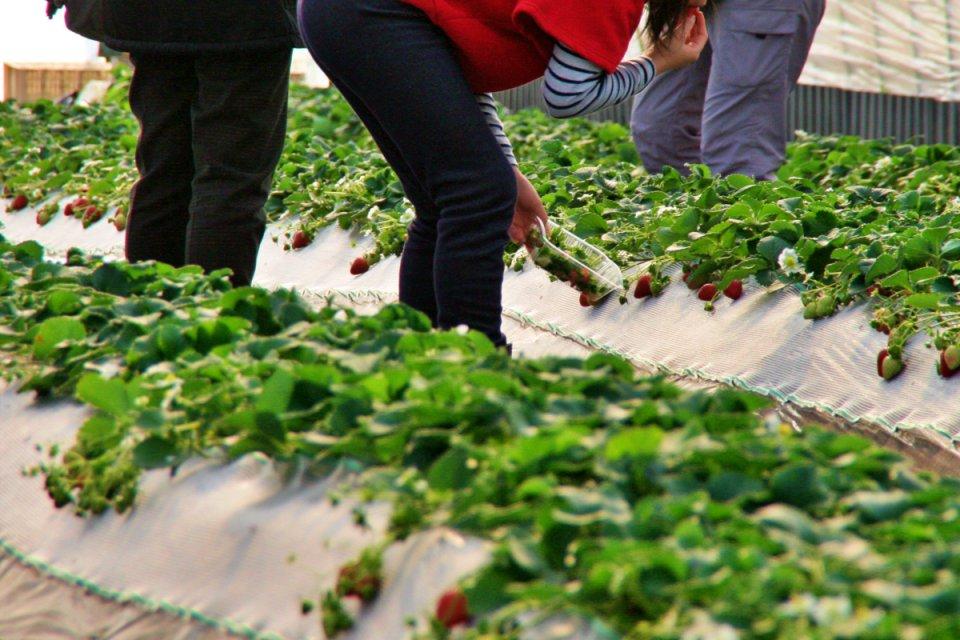 氷見いちご収穫体験